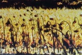 Simmons sunflowers